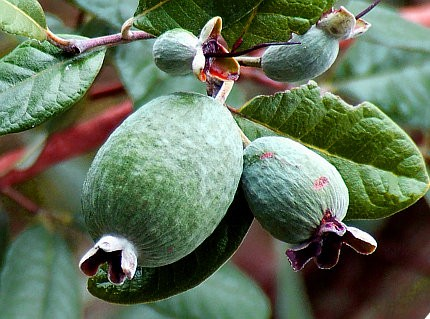 Database alberi for Pianta feijoa