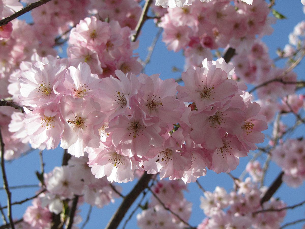 Database alberi for Alberelli ornamentali